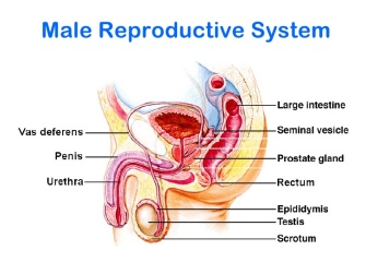 reproductive-system-3-728